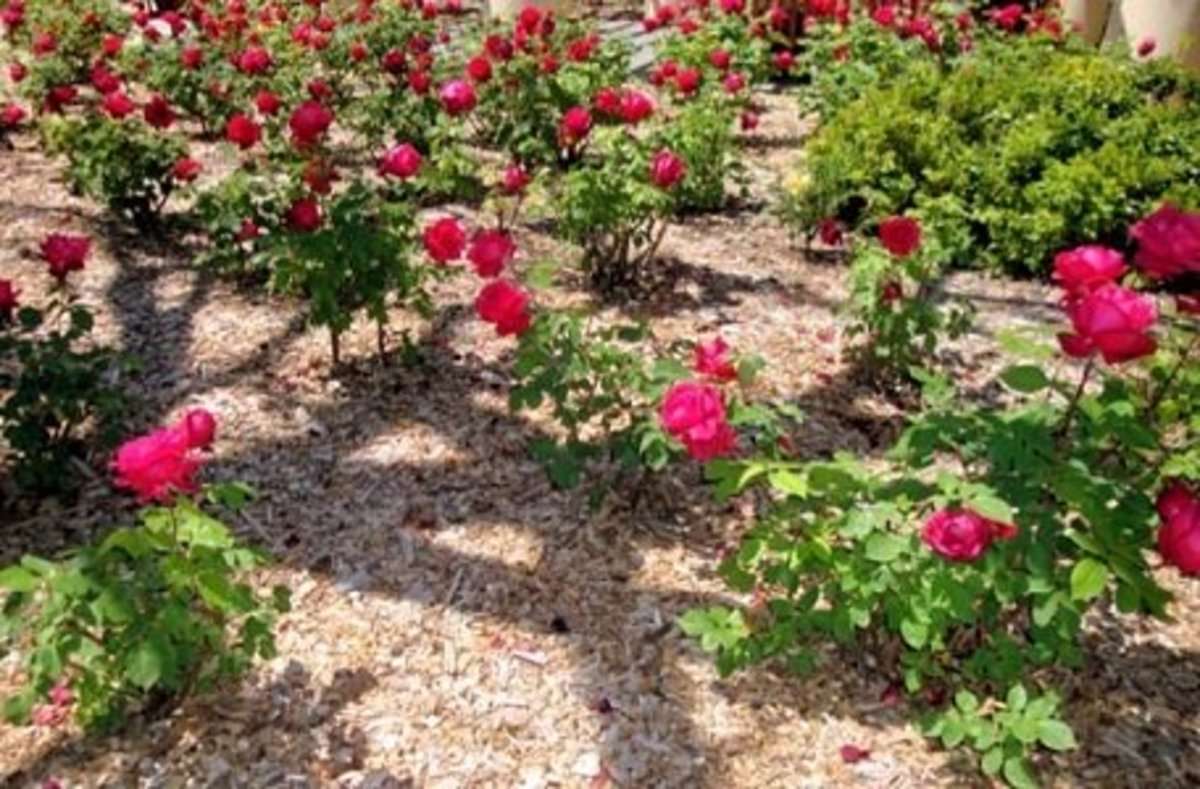 Wood Chips Used as Mulch on Flowers