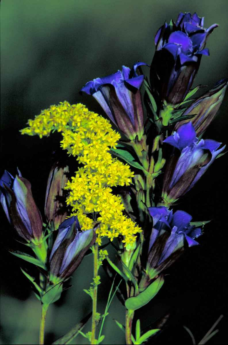 Goldenrod and Prairie Gentian