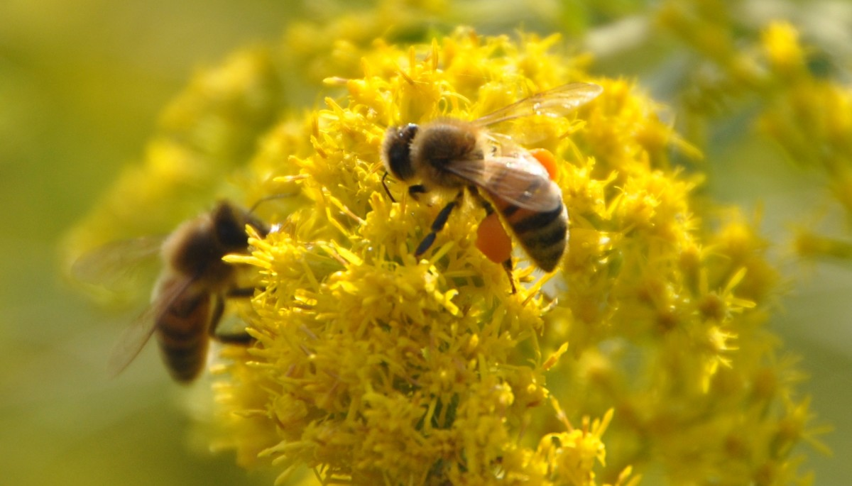 Goldenrod and bees