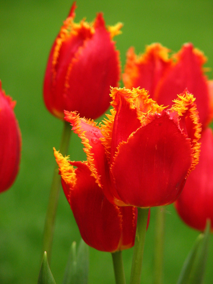 Fringed group tulips.