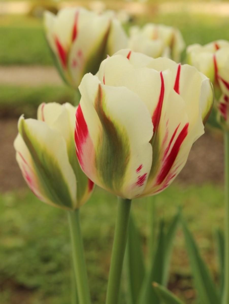 Viridiflora tulips.