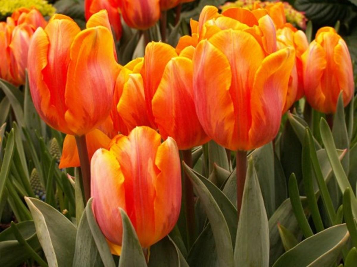 Triumph tulips.