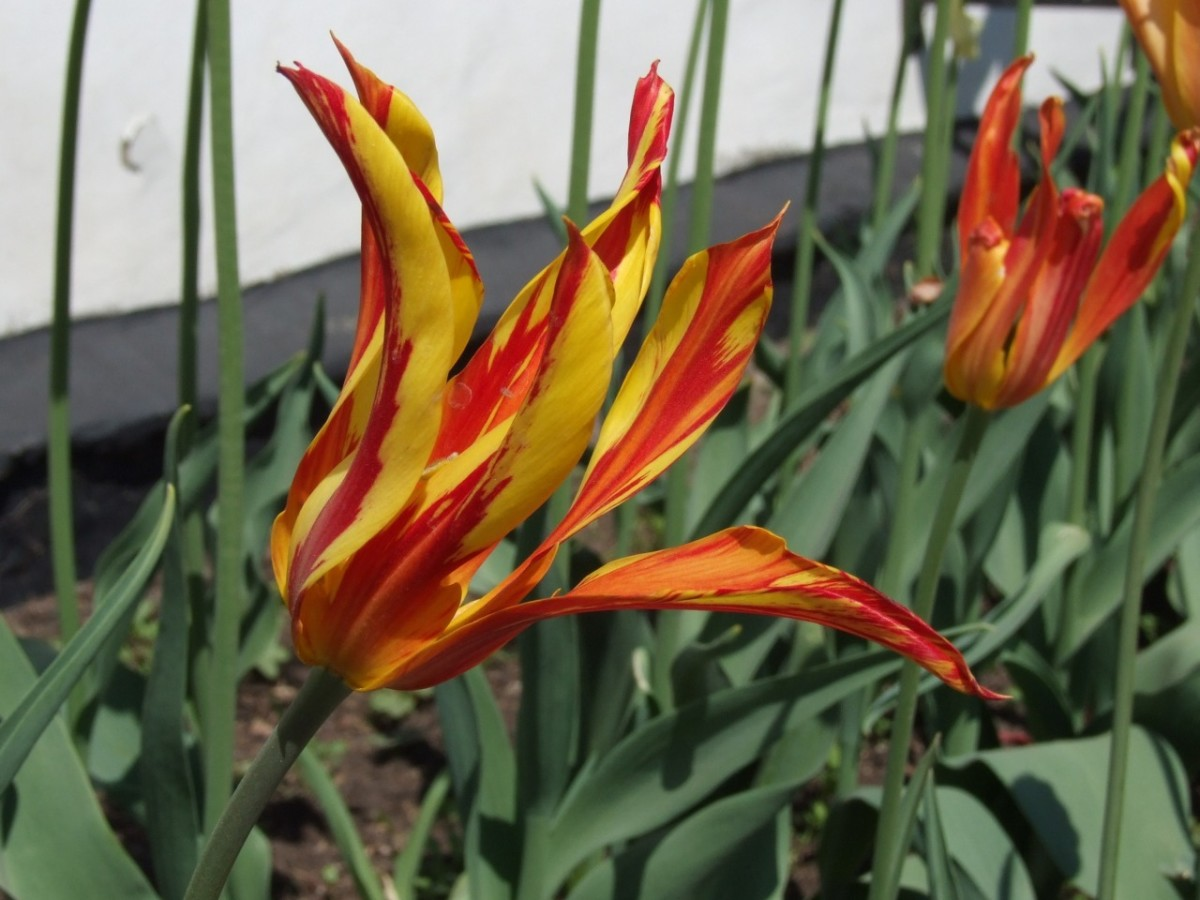 Lily flowered tulips.