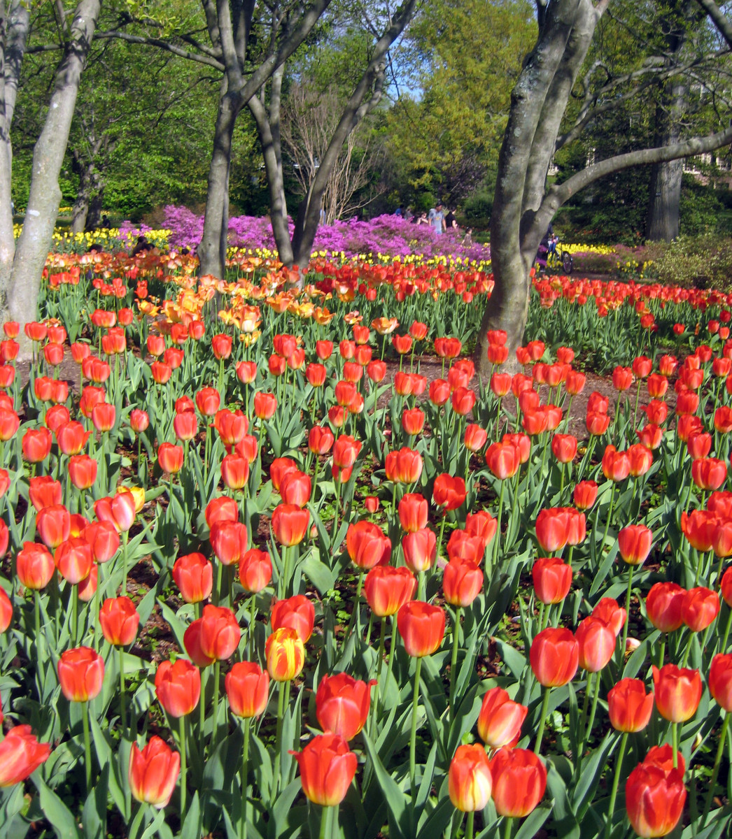Tulips - Spring Blooming Bulbs to Plant in Fall