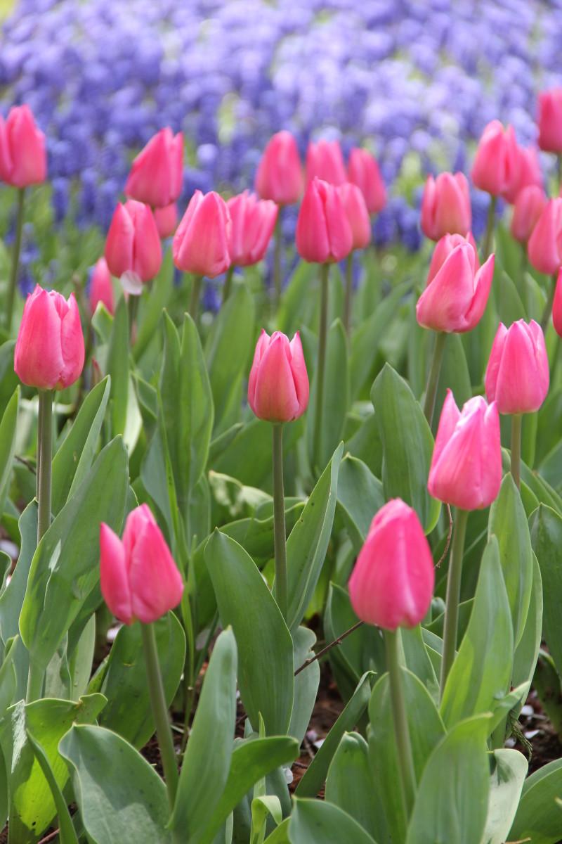 Single early tulips.