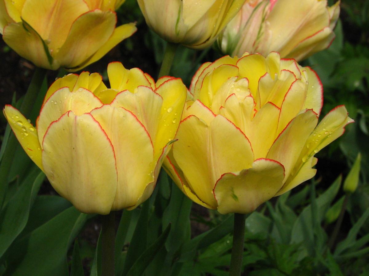 Double early tulips.