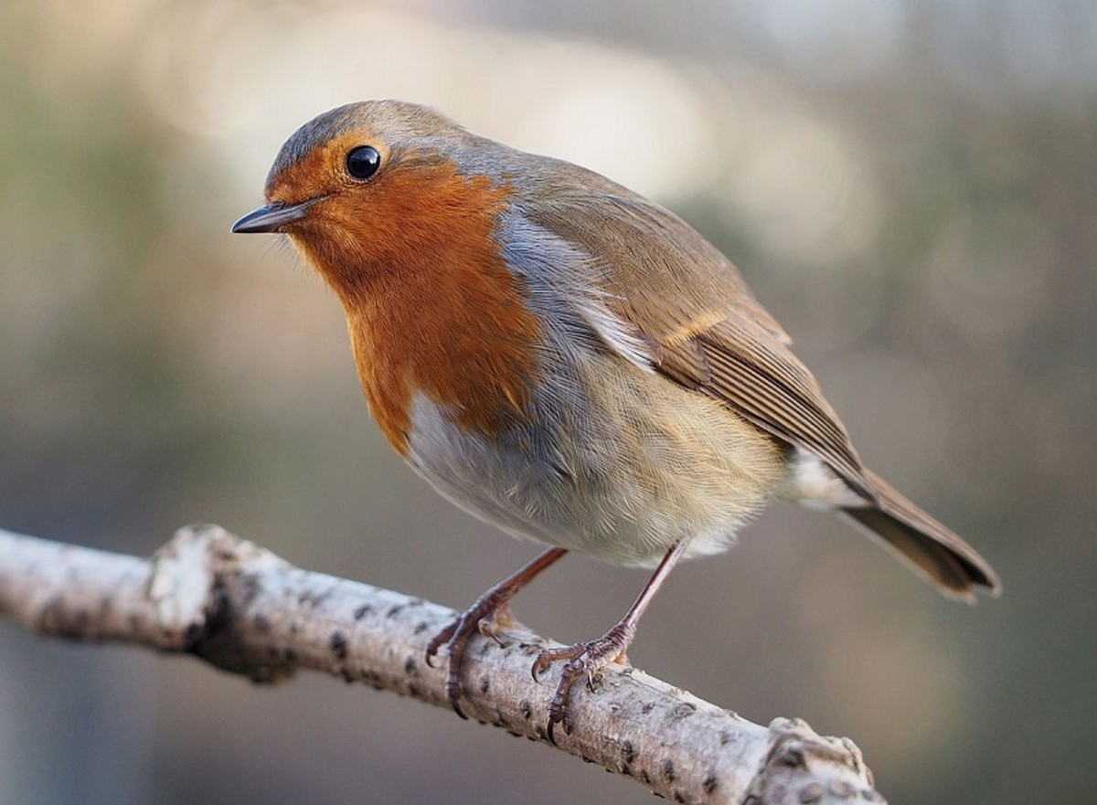 The European Robin (Erithacus rubecula) often knocks on windows in the UK.