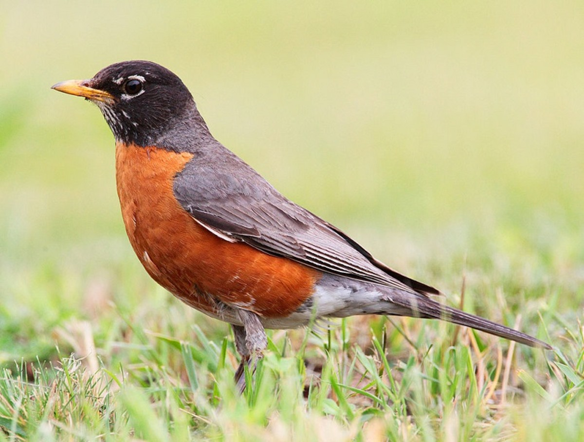 The American Robin (Turdus migratorius) may peck at windows in the US.