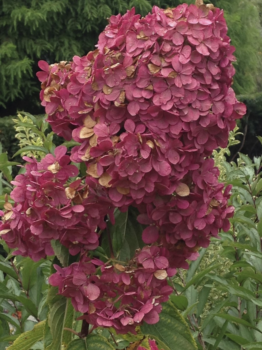 Vanilla Strawberry Panicle Hydrangea