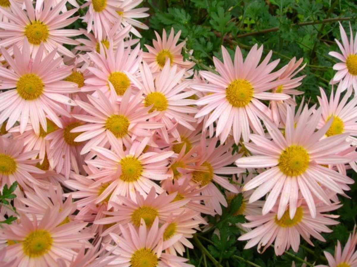 The lovely Sheffield Pink mum.