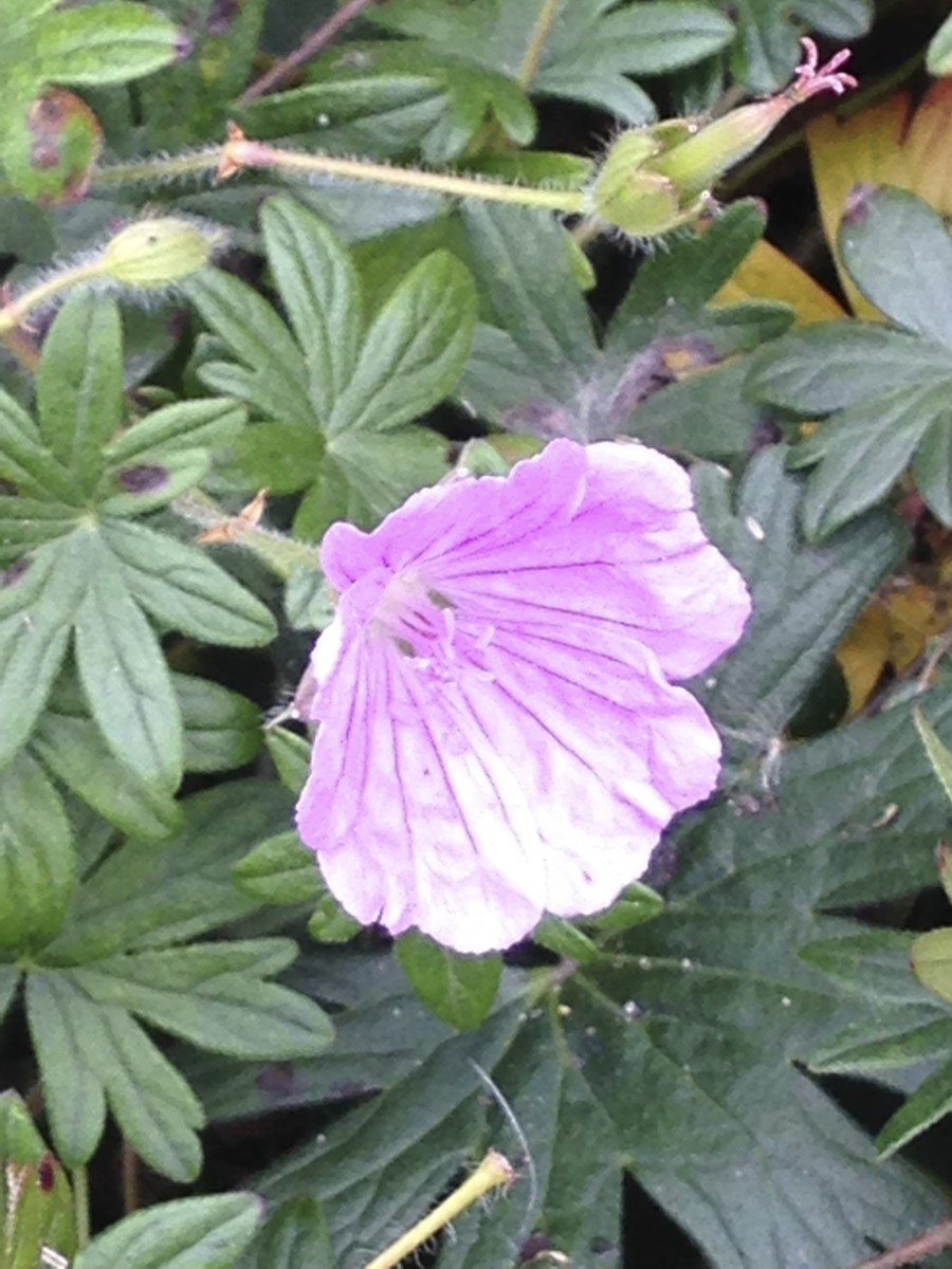 The sublime Glenluce bloody cranesbill.