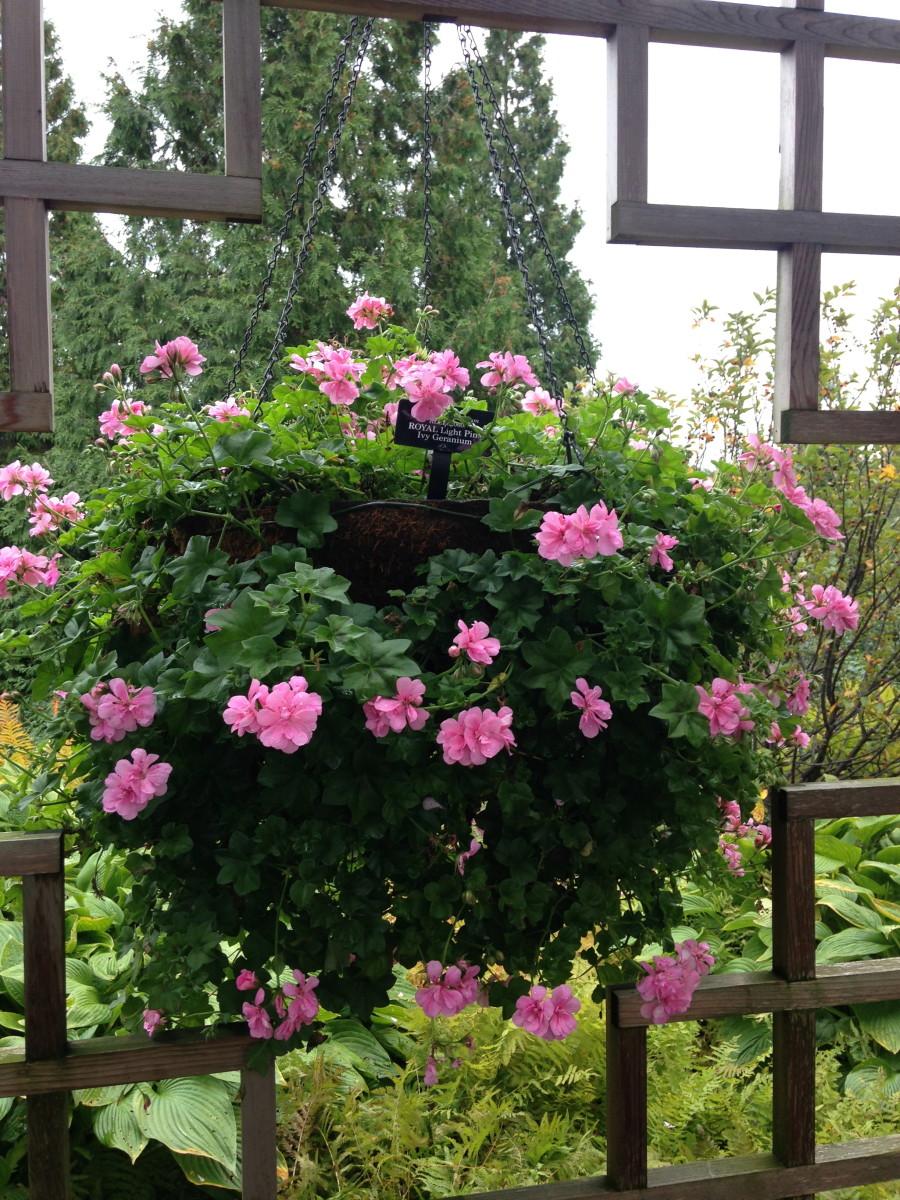 The delightful royal light pink ivy geranium.