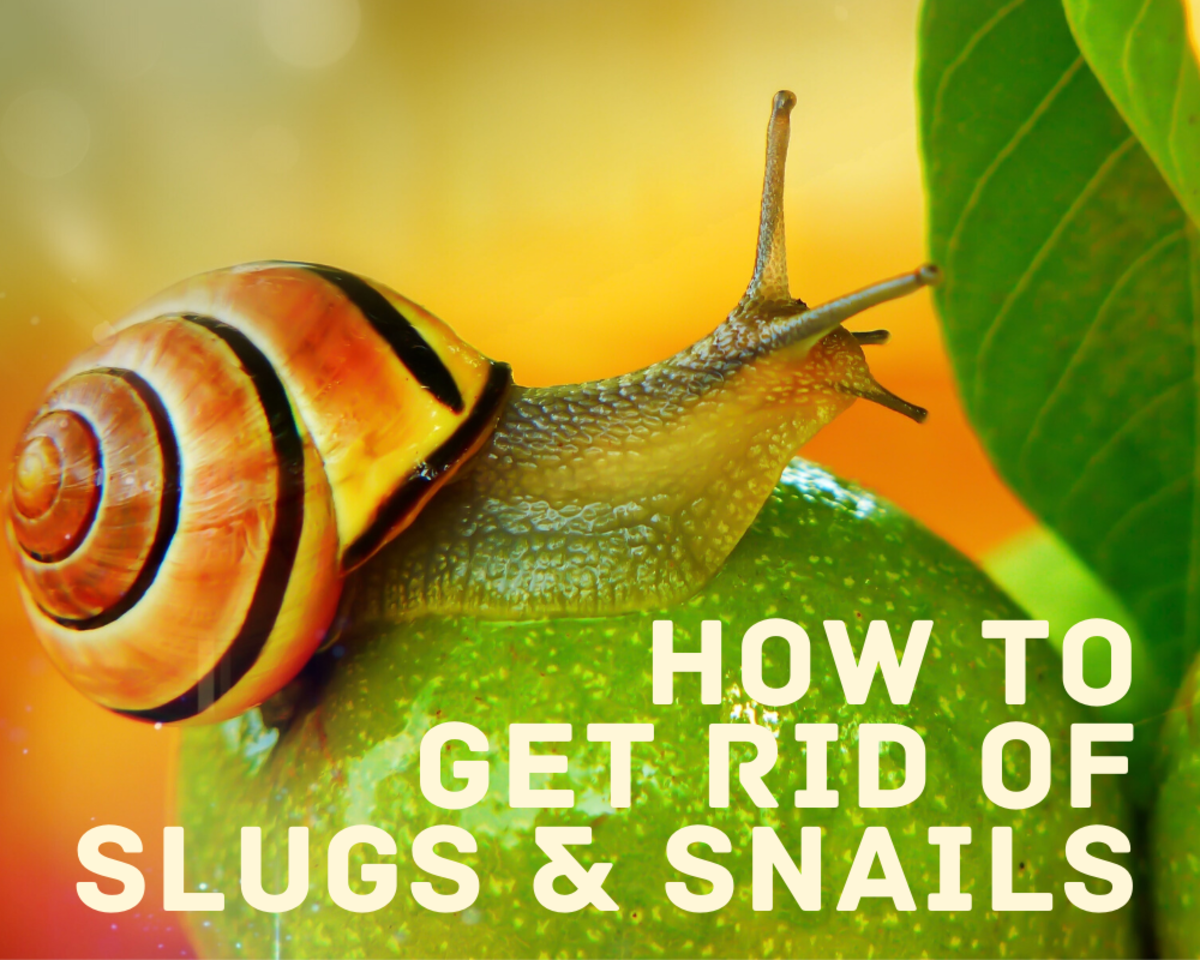 9 Ways to Get Rid of Slugs and Snails in Your Home or Garden