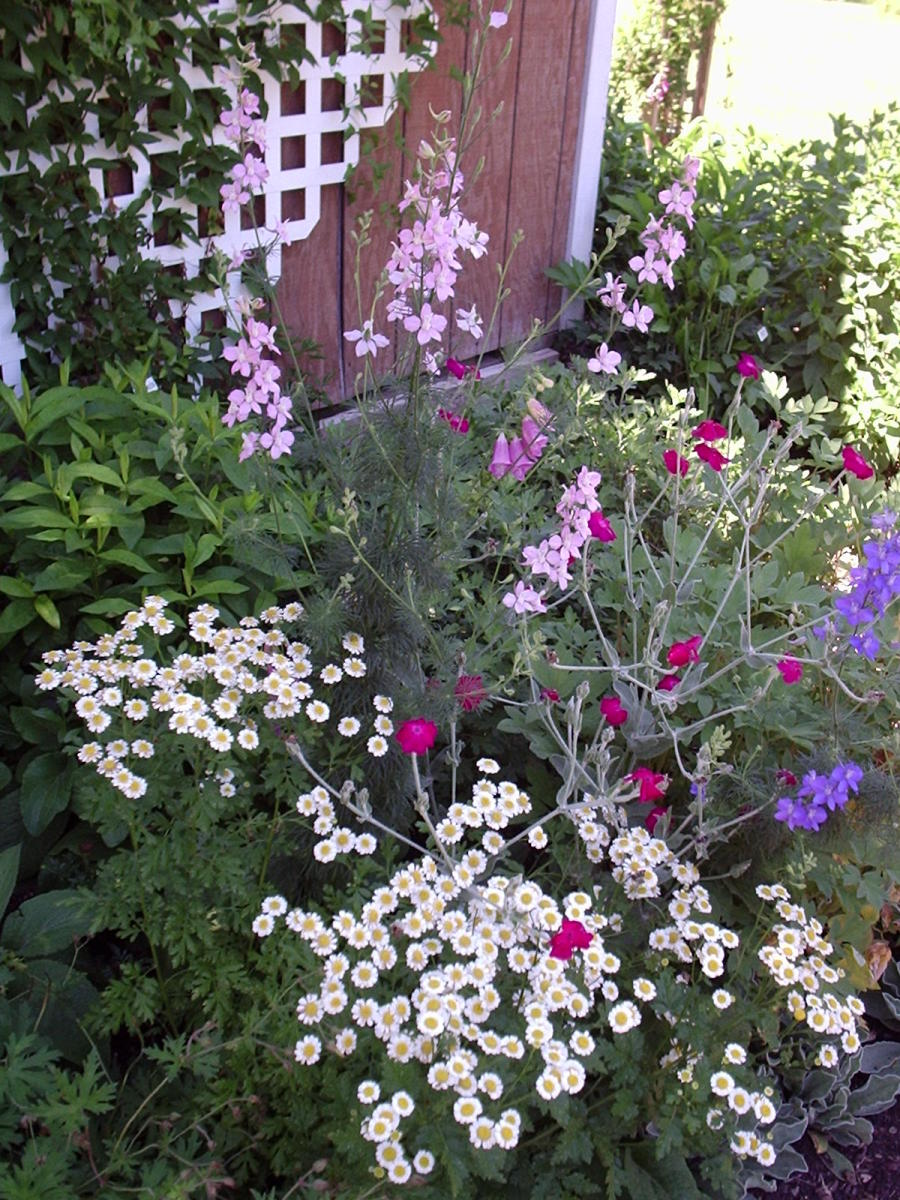 My first encounter with rose campion