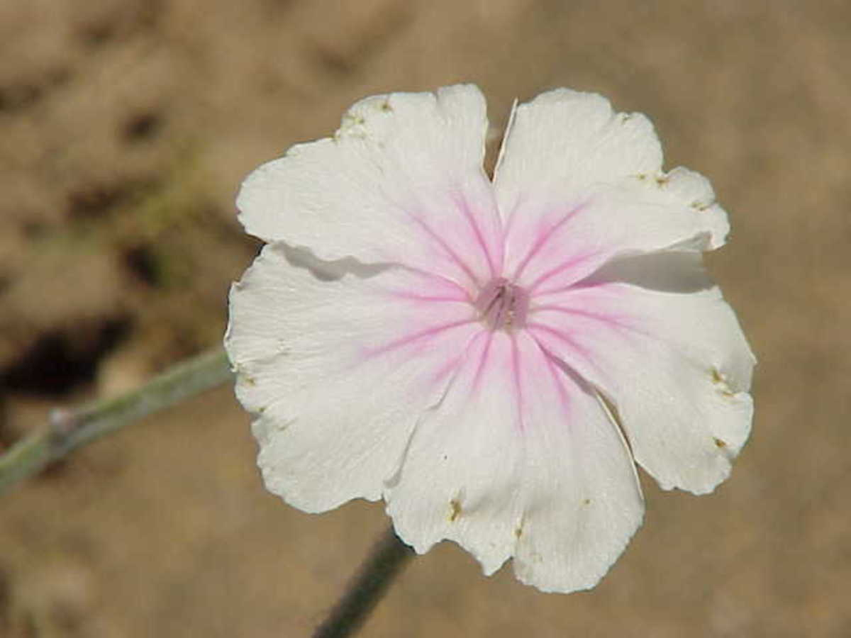 White flowered rose campion