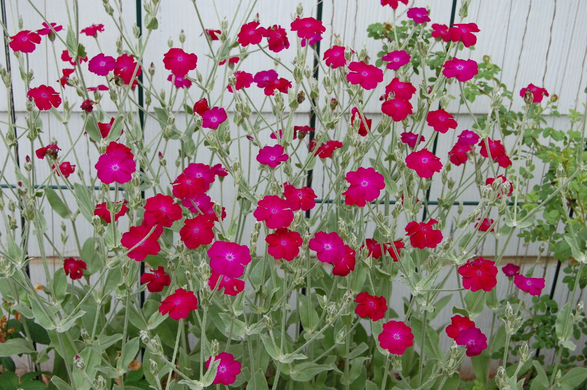 Cottage Garden Favorites: Rose Campion