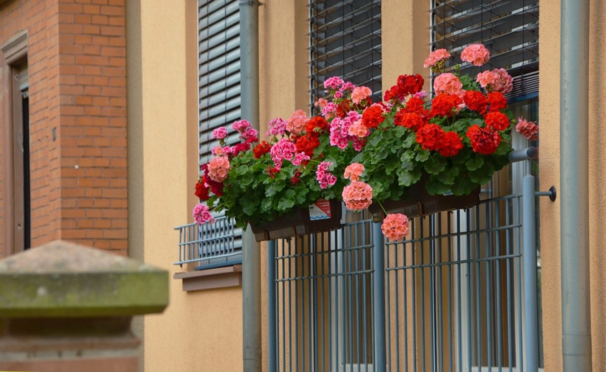 Geraniums are popular container plants