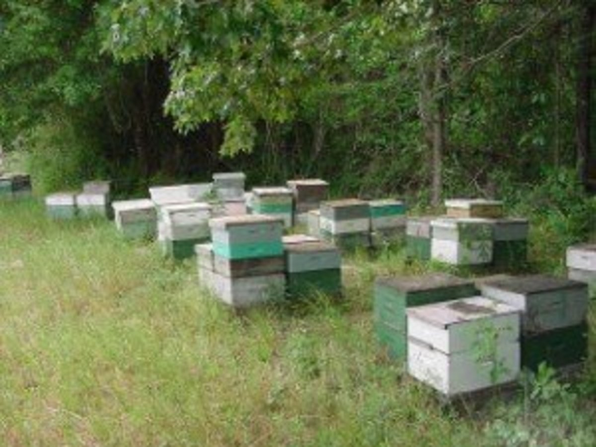 These hives are protected from winds by trees.