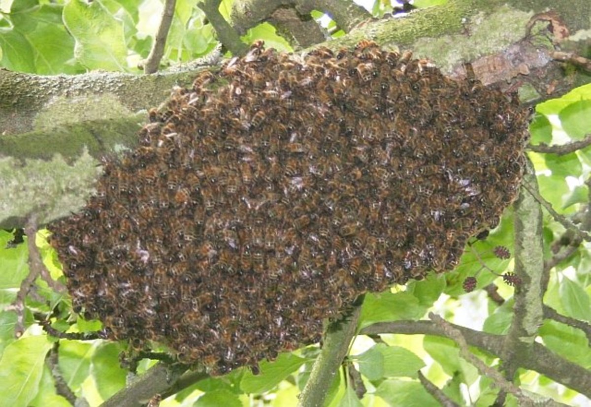 Why Do Bees Leave Your Hive? 16 Reasons for Bee Absconding