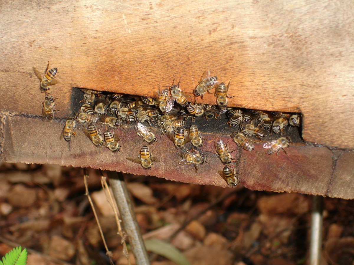 Bees nesting on the hive entrance.