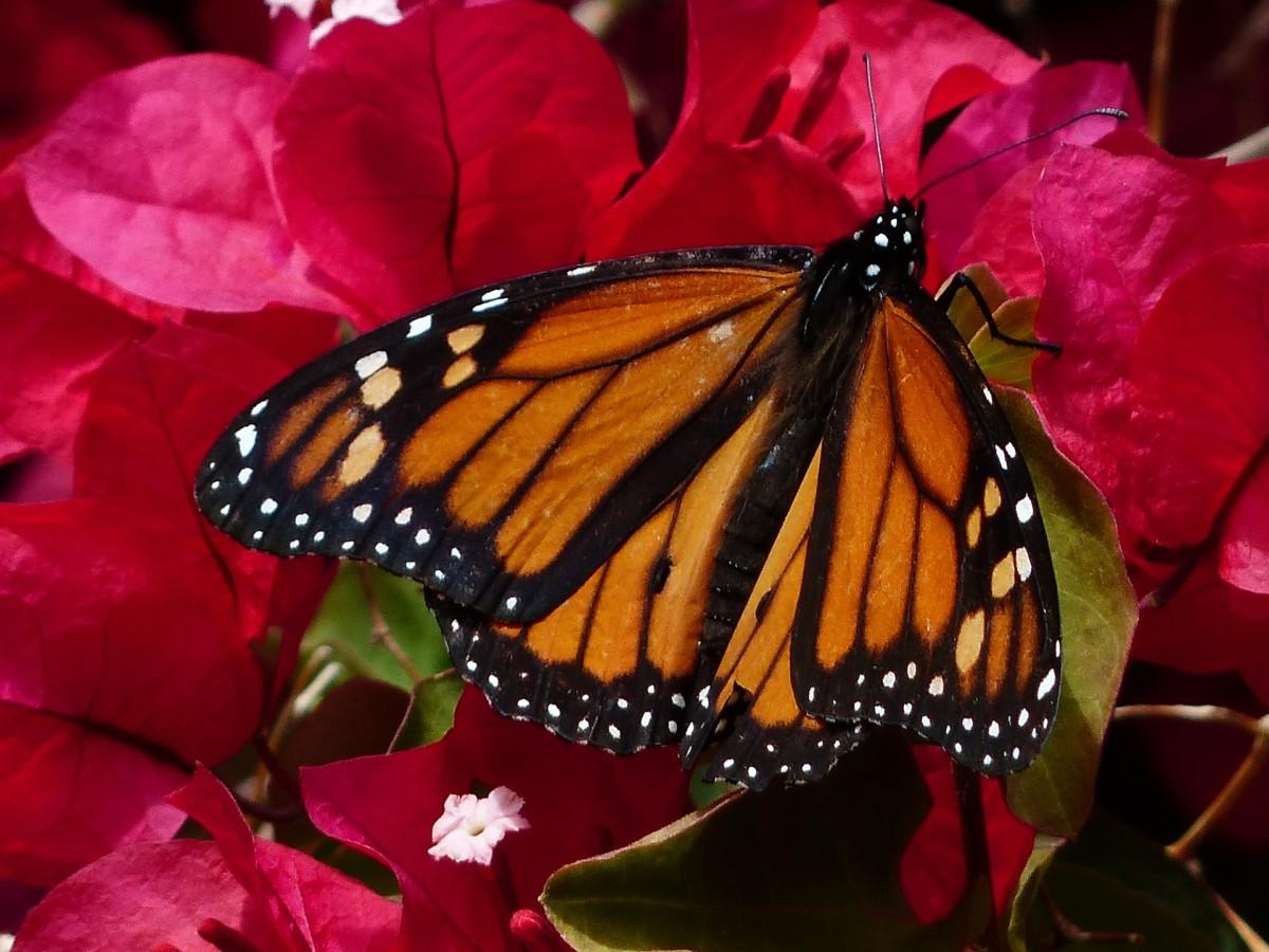 Butterfly Gardening in Iberia