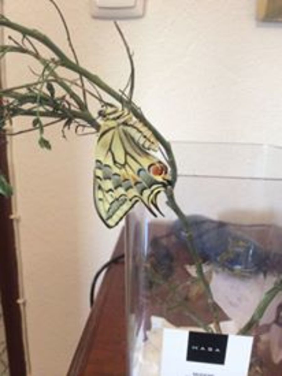 Swallowtail drying its wings