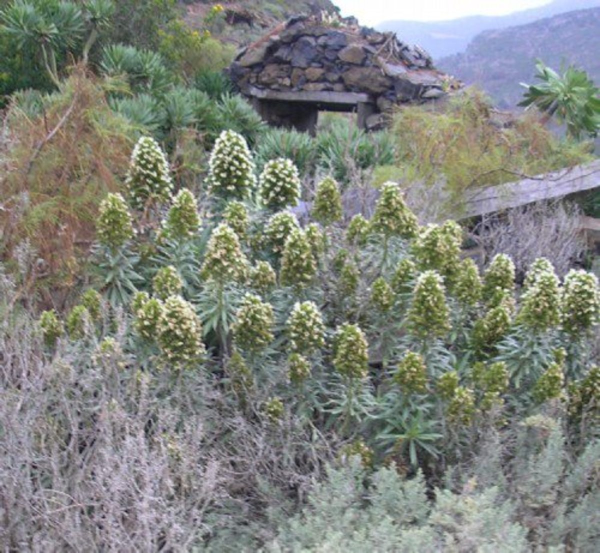 Echium giganteum growing on a cliff