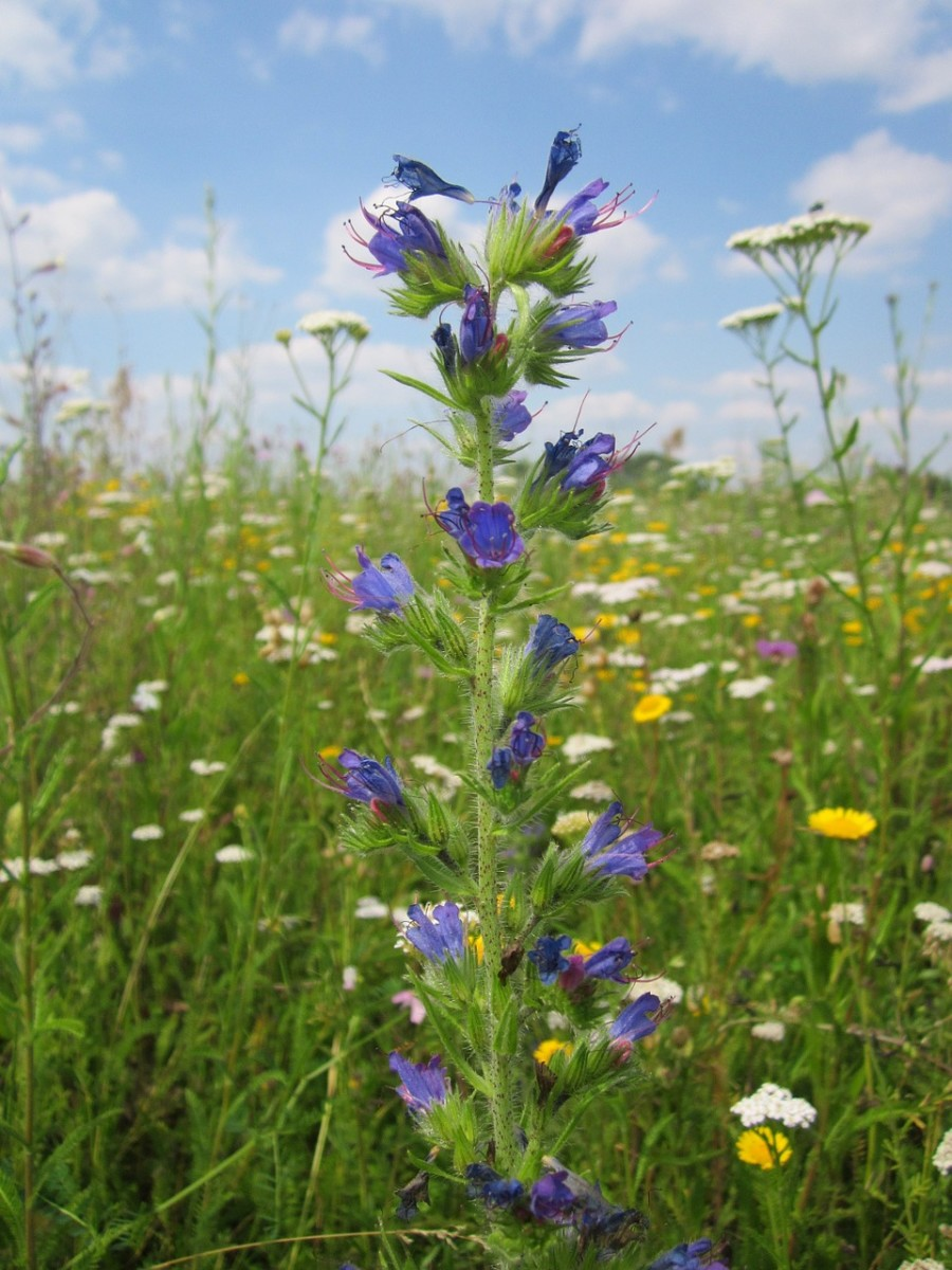 Growing Viper's Bugloss Can Benefit the Bees