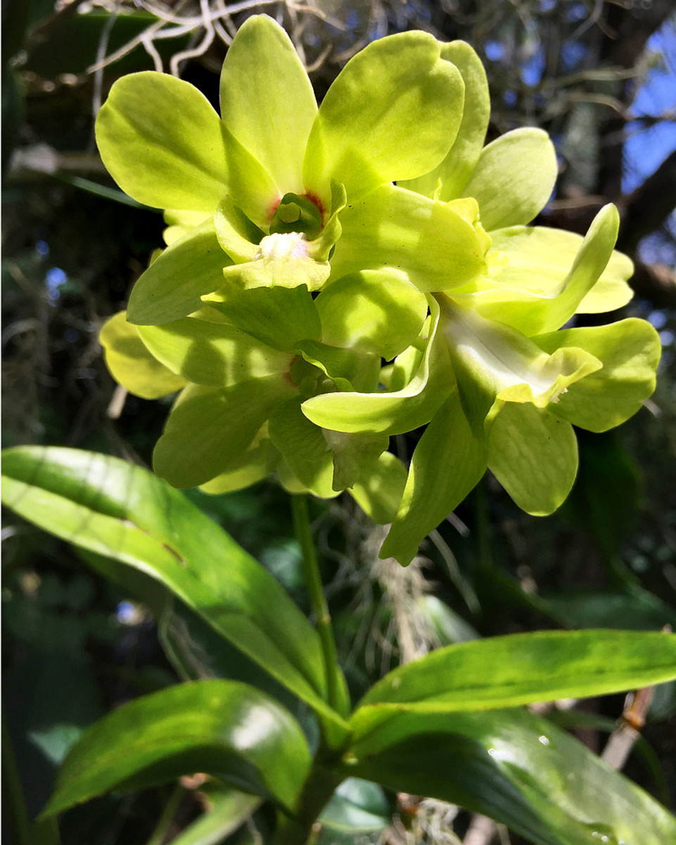 Green is a secondary color but also considered as a neutral color because it's the common color of foliage.  Not many flowers come in green. Here's a Dendrobium orchid with bright green blooms.