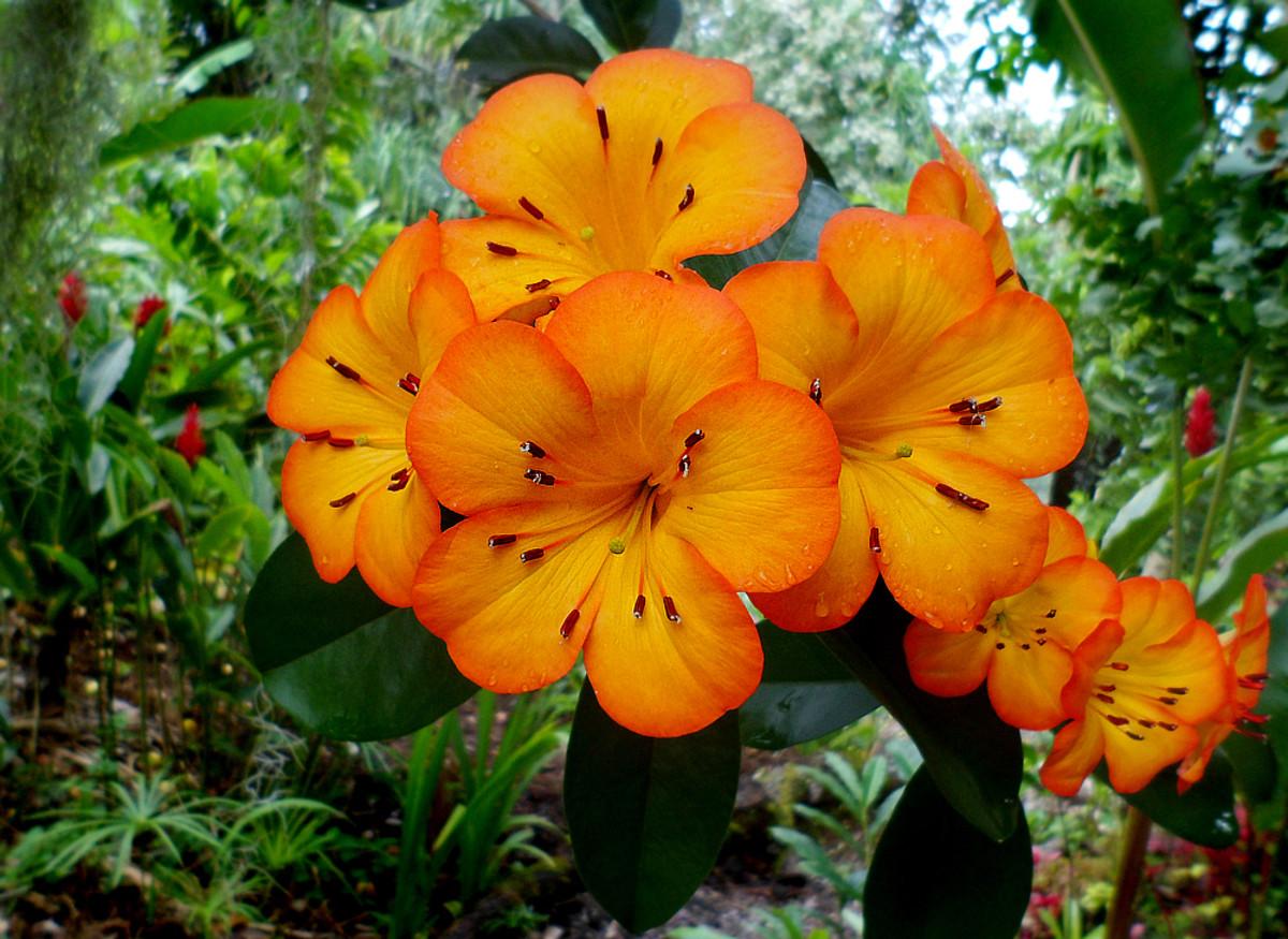 Tropical Vireya Rhododendron flowers in glowing orange color.