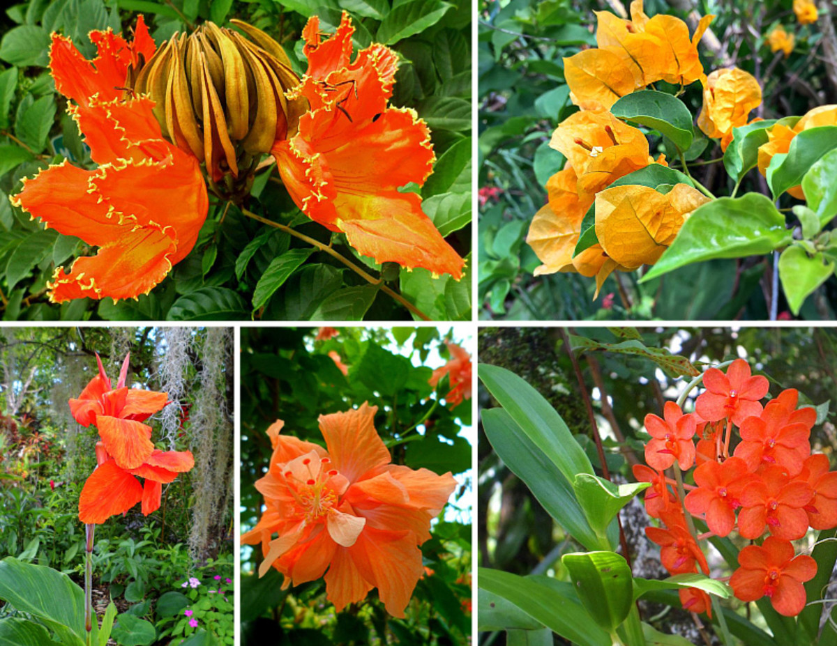 Orange is one of secondary colors and also a warm color.  Clockwise from top left: Tulip tree; Bougainvillea; Vanda orchid; Hibicus 'Orange Sherbet'; Canna lily.