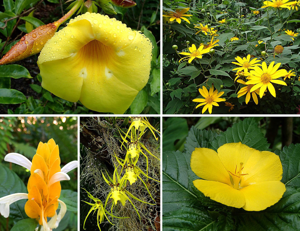 Yellow is one of the primary colors and a warm color.  Clockwise from top left: Allamanda; Tree Marigold; Buttercups; Spider Orchid; Shrimp Plant.