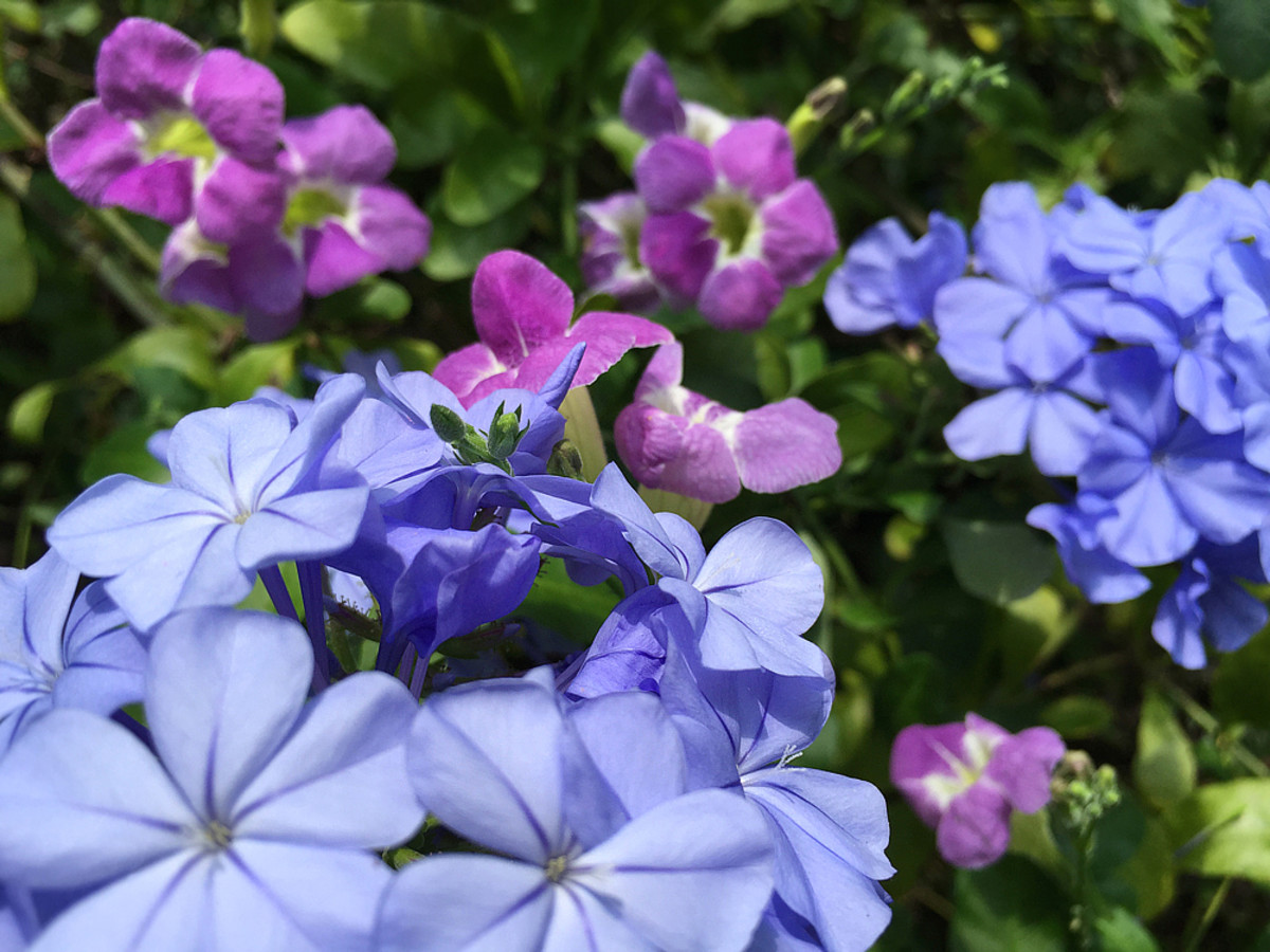 Example of analogous colors: blue (Plumbago) and violet (Chinese Violet).