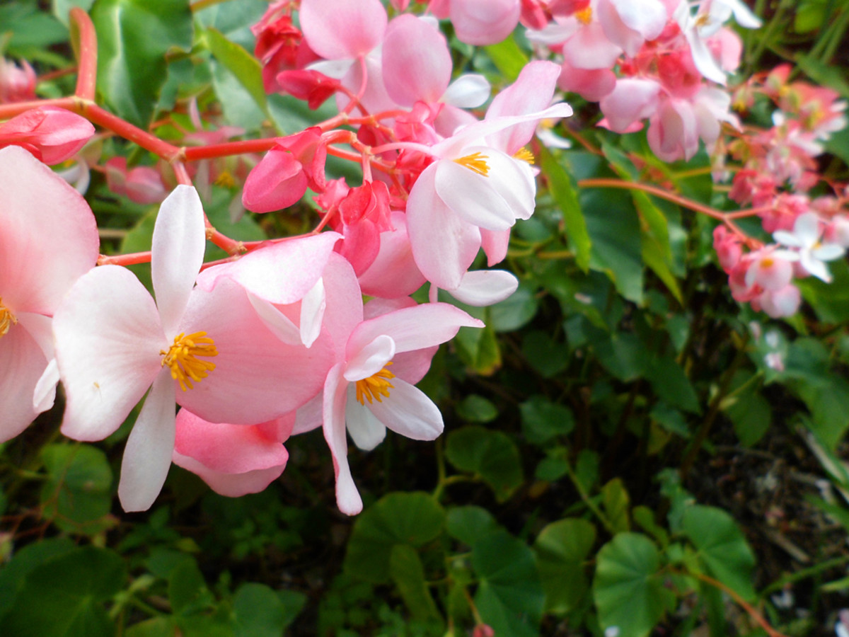Pink Begonia is another popular garden flower in Hawaii.