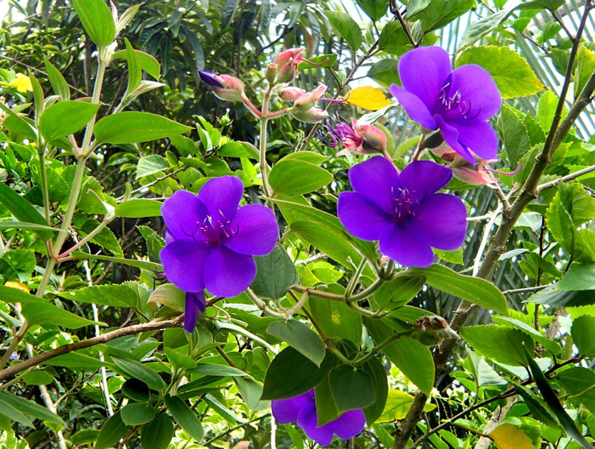 Princess Flower has brilliant royal purple flowers.