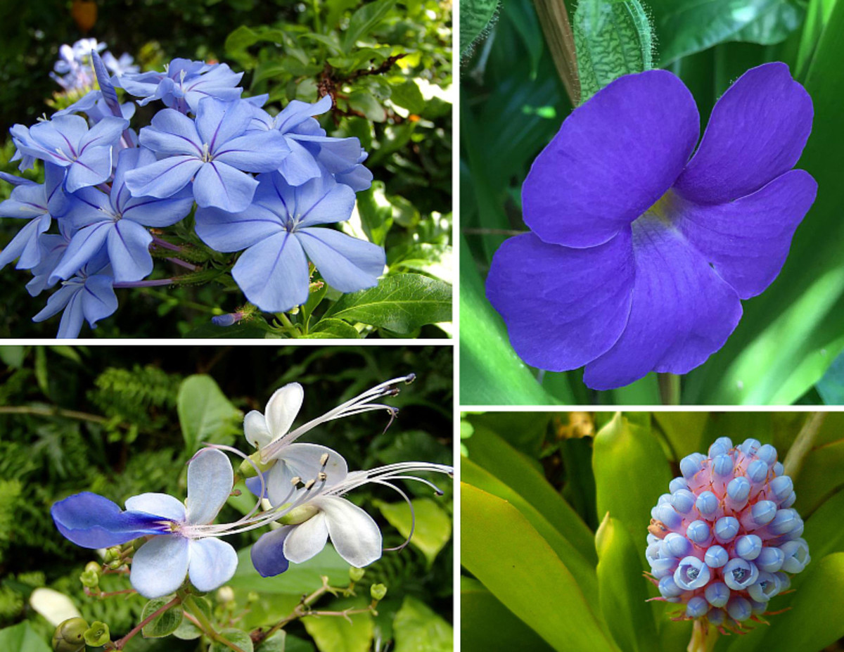 Blue is a primary color and a cool colors.  Clockwise from top left: Plumbago; Thunbergia 'Blue Boy'; Bromeliad flower; Blue Butterfly bush.