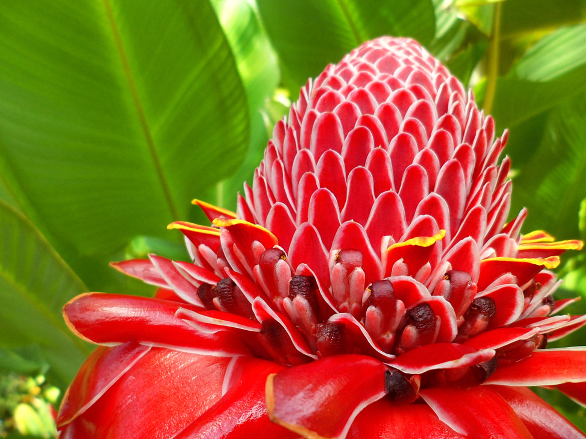 Red is a primary color and the most conspicuous warm color. Red flowers stand out in the garden like this Torch Ginger.
