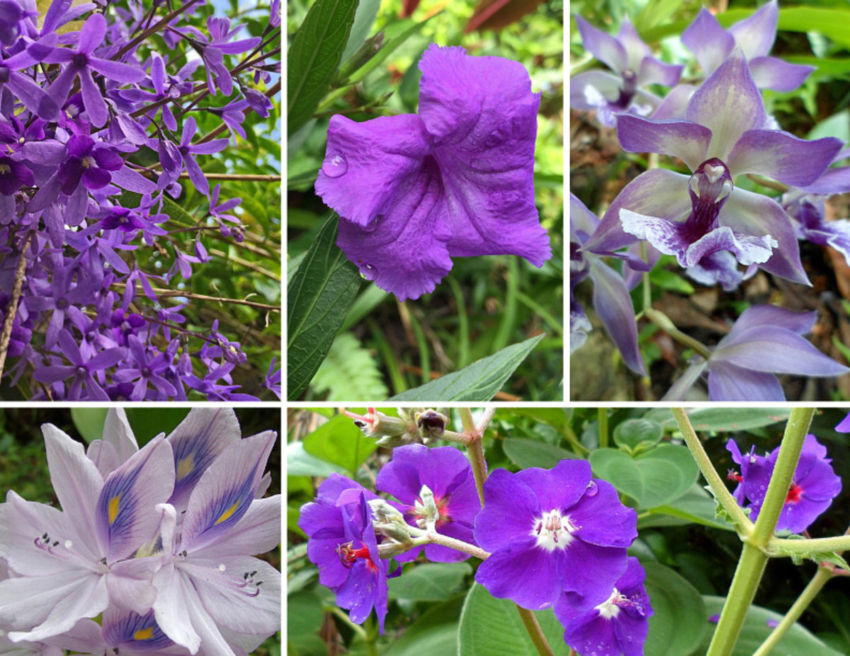 Violet is a soothing cool color and a secondary color.  Clockwise from top left: Sandpaper vine; Mexican petunia; Zygopetalum orchid; Tibouchina Glory flower; Water Hyacinth.