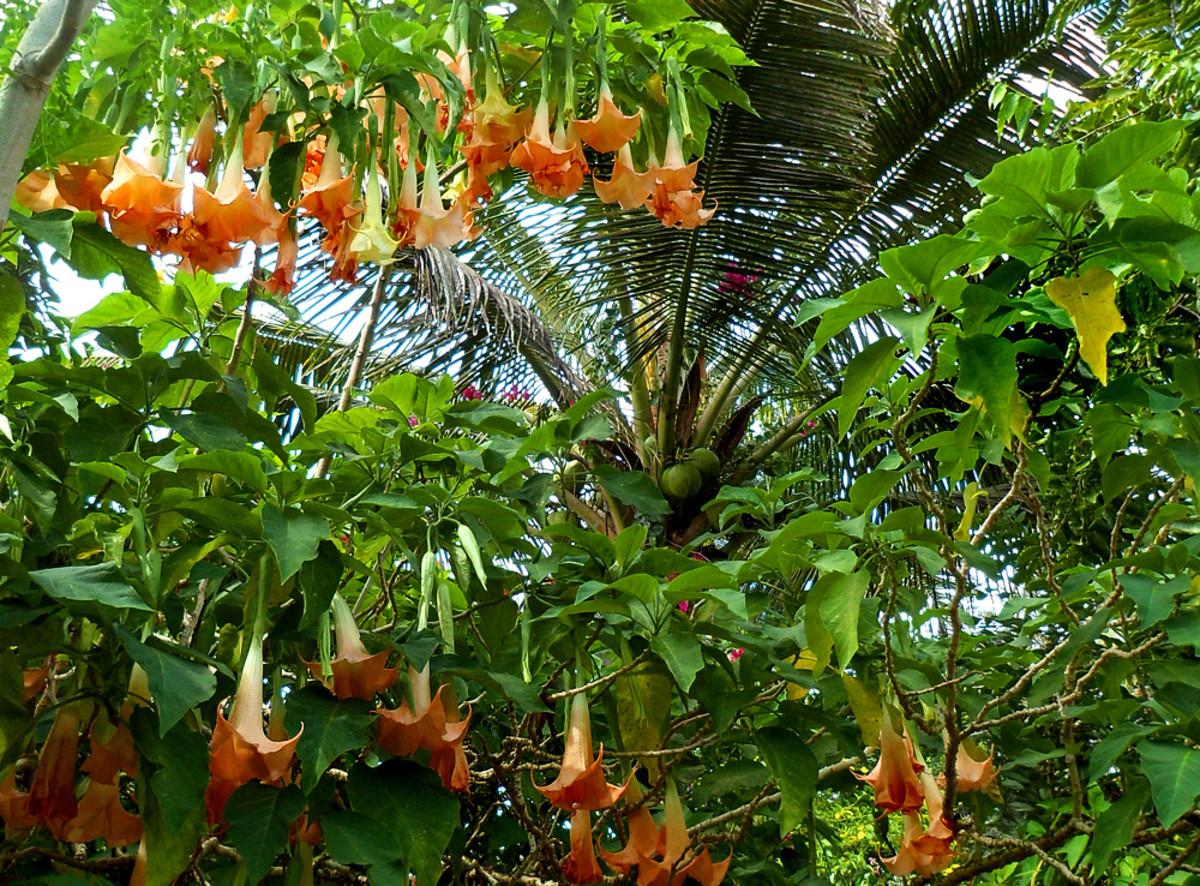 Orange Angel's Trumpet tree in full bloom.