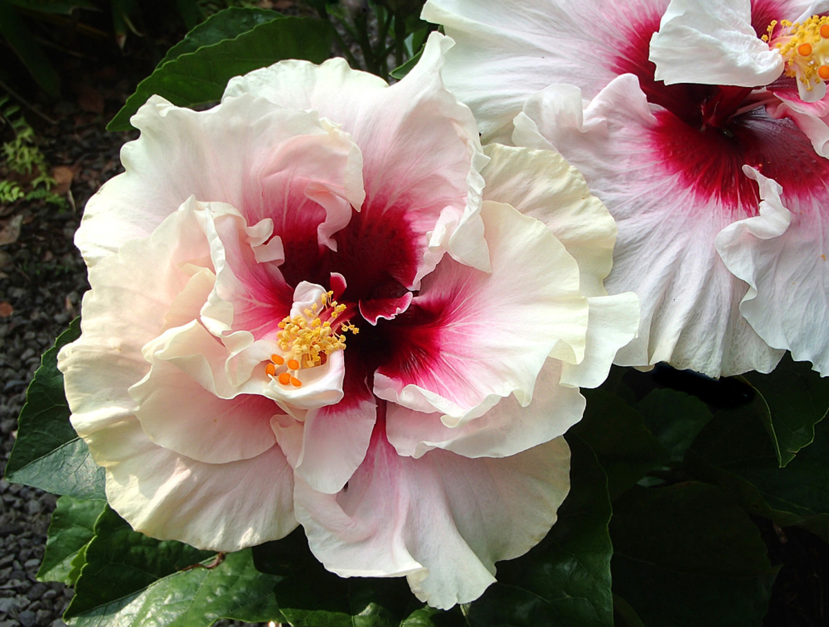 Hibiscus 'High Heaven' with creamy white petals and bleeding crimson center.