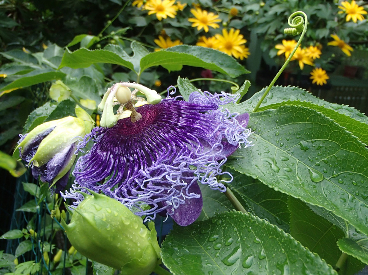 Example of complimentary colors: violet (Purple Passion Flower) and yellow (Tree Marigold).