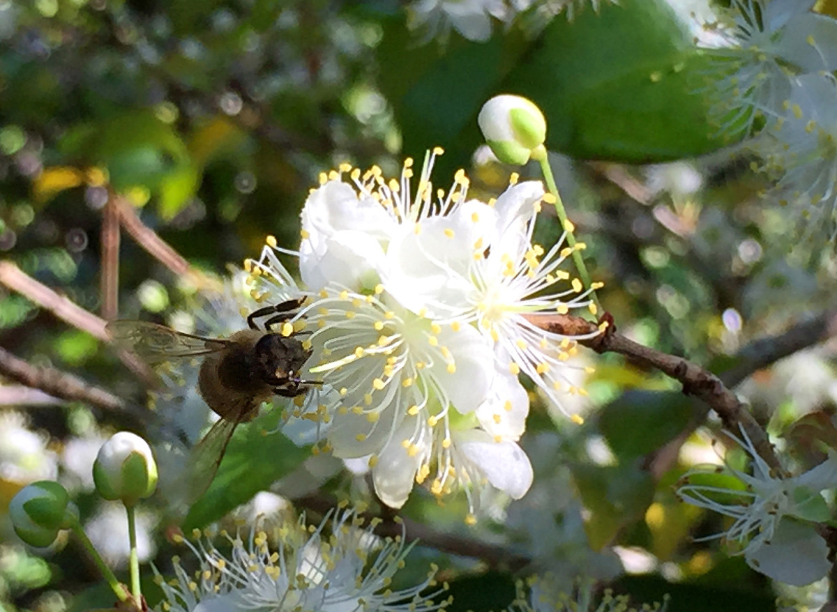 A busy bee on Surinam Cherry blossoms.