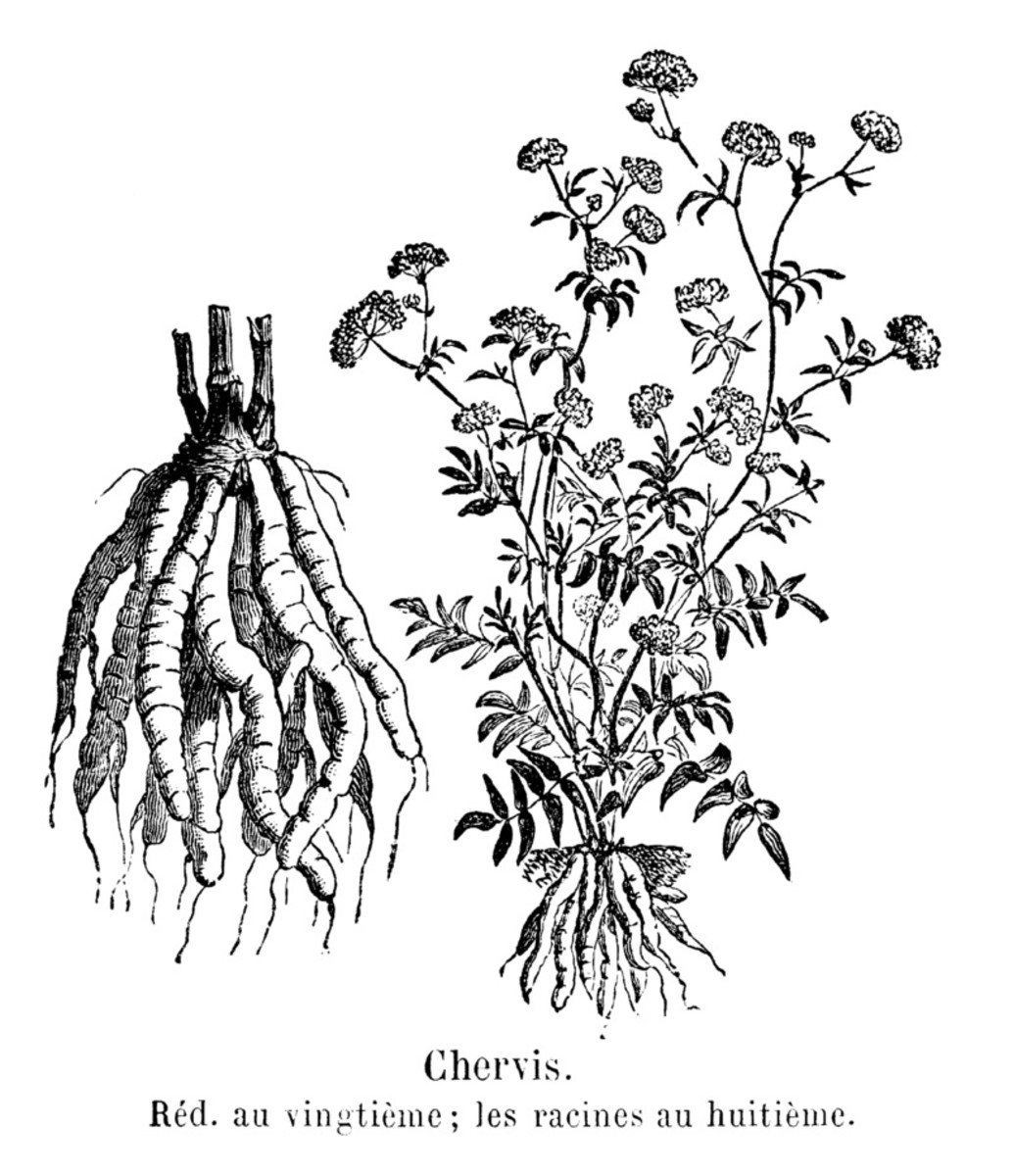 A botanical illustration showing skirret roots and flowers.