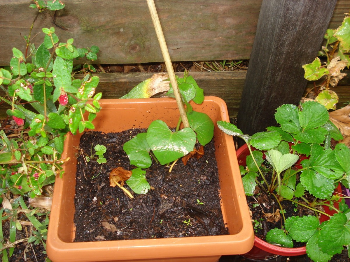 How To Grow Sweet Potatoes In A Container Dengarden Home And Garden