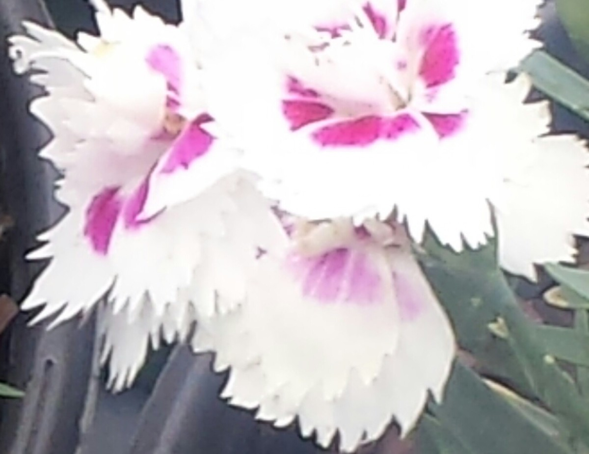 A popular cut for carnation flower species