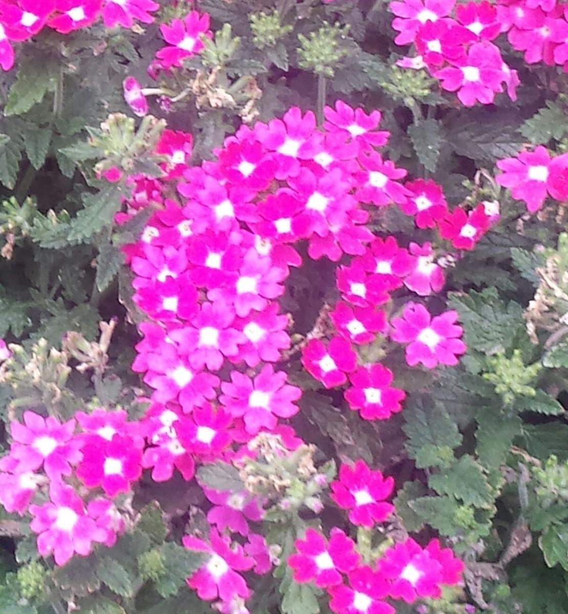 A lovely fragranced flower