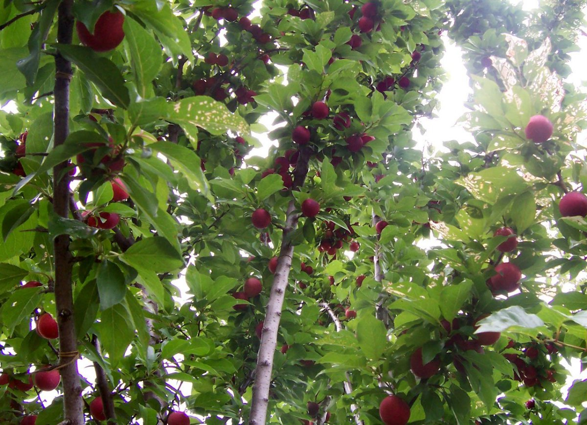 A plum tree with developing fruit