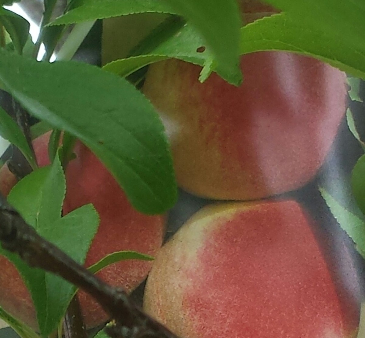 Fresh peaches are health and very sweet tasting