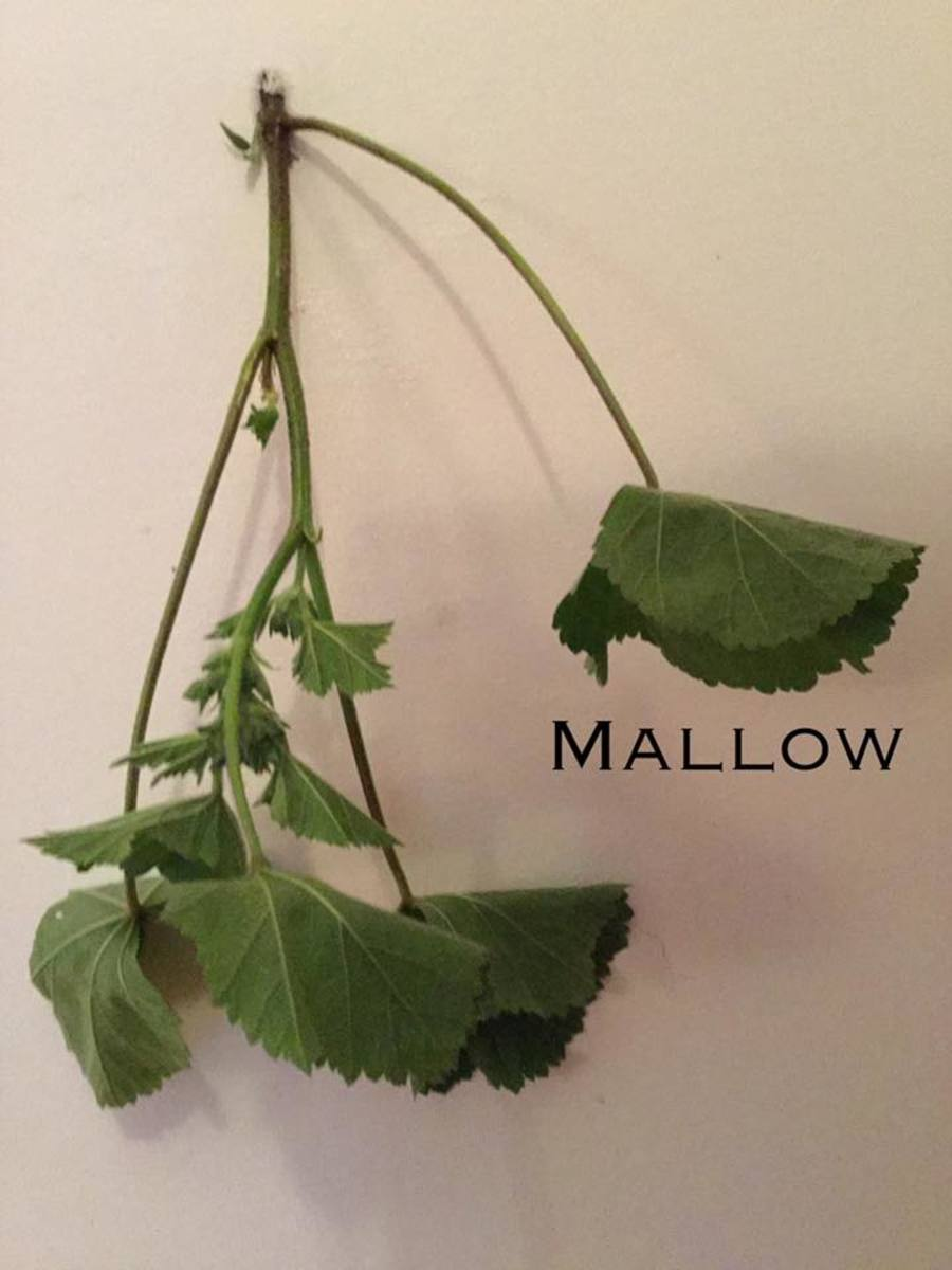 Common mallow