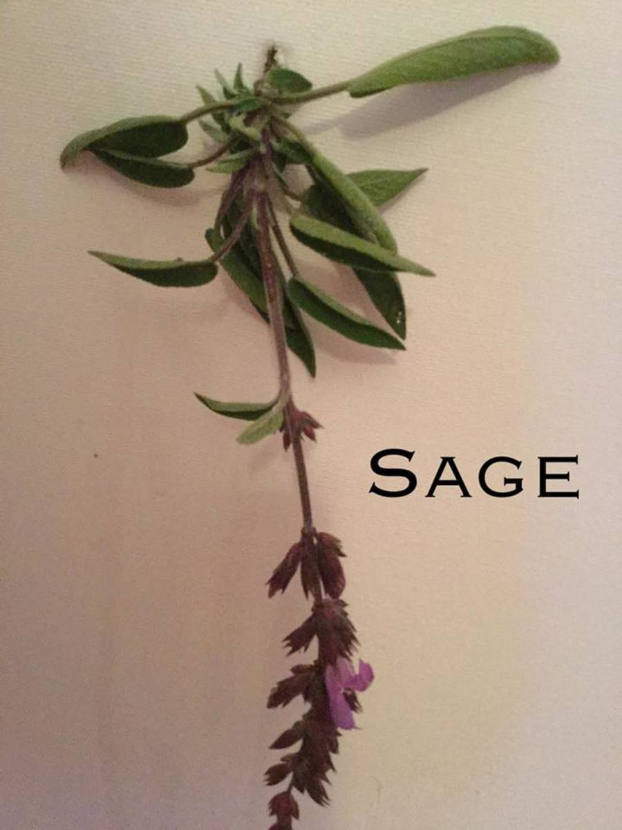 Sprig of sage showing flowers.